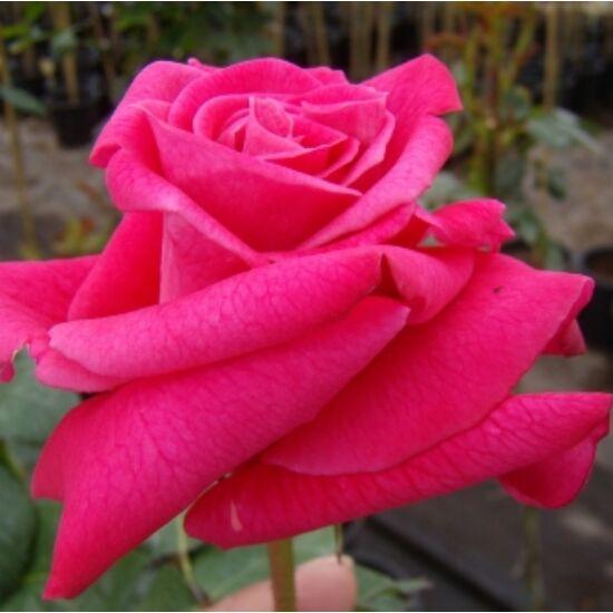 Rosa 'Sasad' - Krimzonpiros teahibrid rózsa