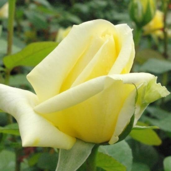 Rosa 'Landora' - Sárga teahibrid rózsa
