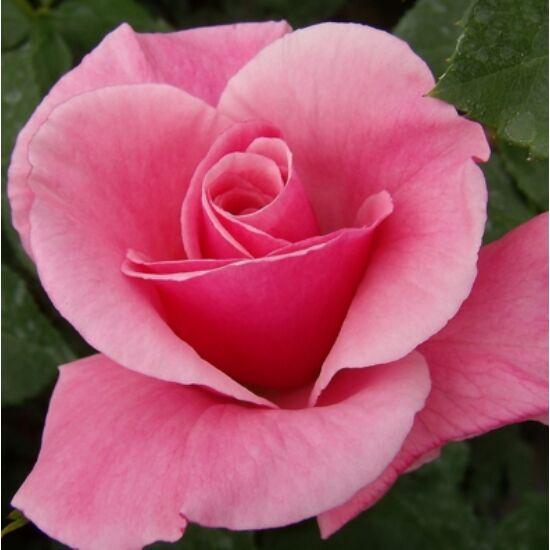 Rosa 'Milrose' - Rózsaszín ágyás rózsa