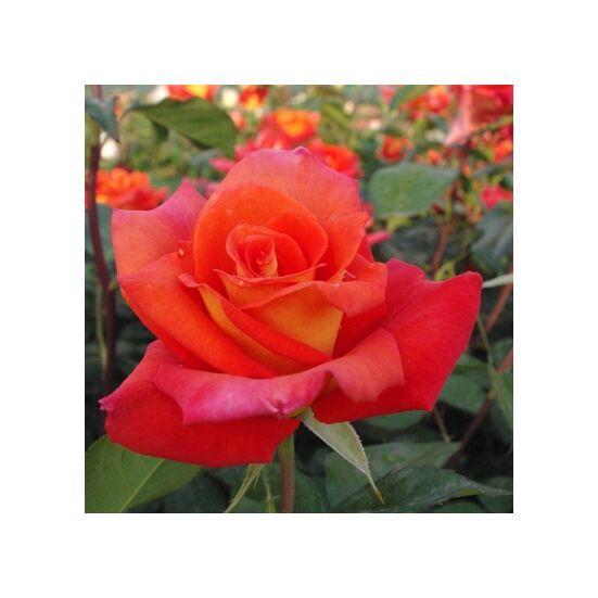Rosa 'Monica' - Narancssárga-sárga teahibrid rózsa