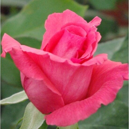 Rosa 'Pariser Charme' - Rózsaszín teahibrid rózsa