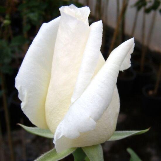Rosa 'Pascali' - Fehér teahibrid rózsa