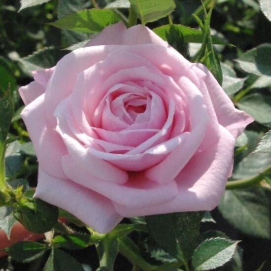 Rosa 'Blush Parade' - Rózsaszín mini rózsa
