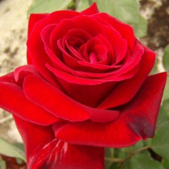Rosa 'Don Juan' - Bordó futórózsa