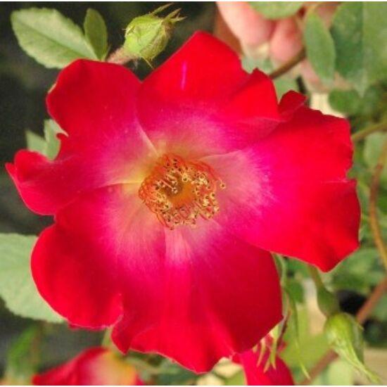 Rosa 'Meimick'  - Élénkpiros-fehér-sárga termetes rózsa