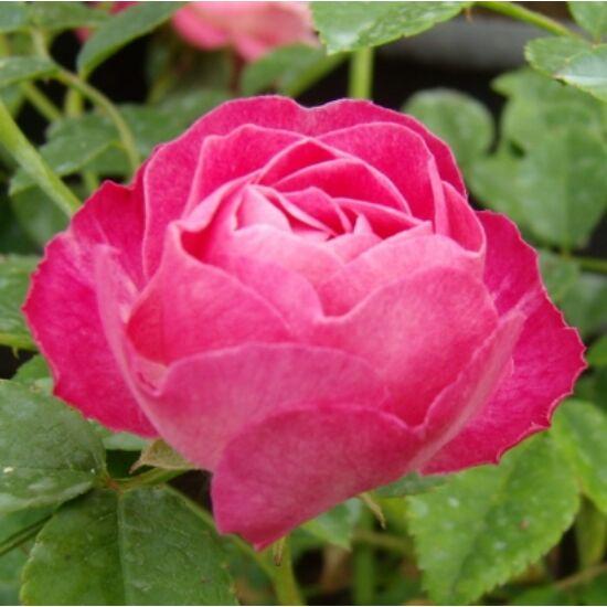Rosa 'Sorbet Pink' - Rózsaszín ágyás rózsa