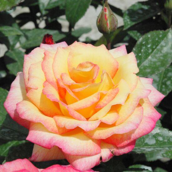 Rosa 'Centennial Star' - Aranysárga-tűzpiros teahibrid rózsa