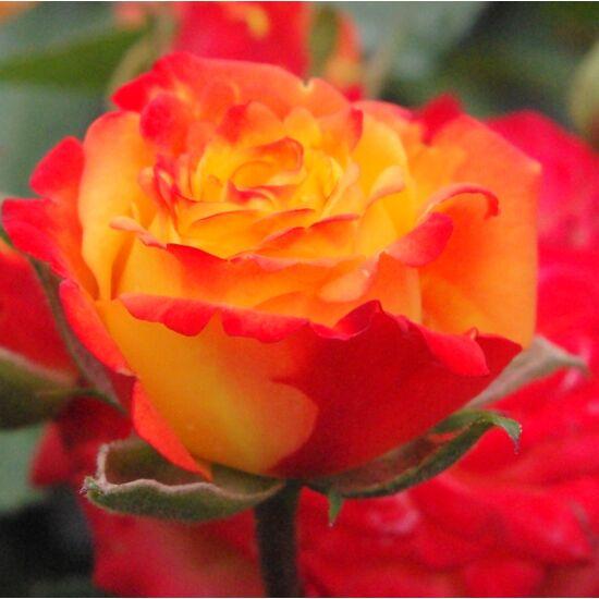 Rosa 'Rumba' - Élénkpiros-sárga ágyás rózsa