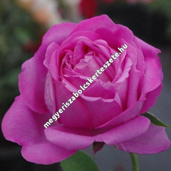 Rosa 'Duchesse de Rohan' - Lilás-rózsaszín történelmi rózsa