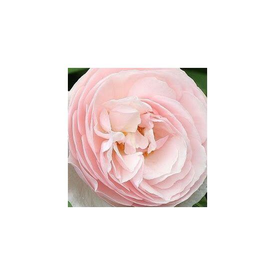 Rosa 'Ausblush' - Világos rózsaszín romantikus angol rózsa