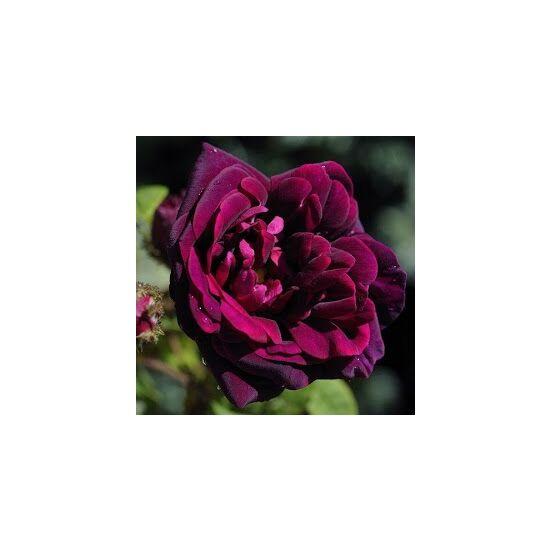 Rosa 'Nuits de Young' - Sötétlila, sárga közepű történelmi rózsa