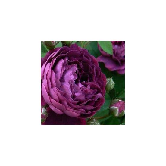 Rosa 'Reine des Violettes' - Lila történelmi rózsa