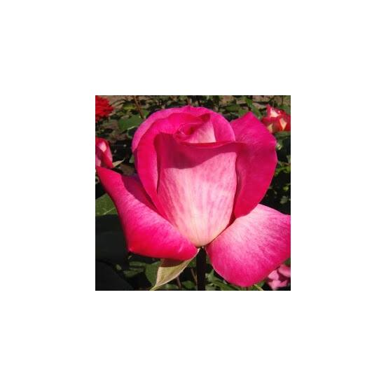 Rosa 'Rose Gaujard' - Kárminpiros-ezüst teahibrid rózsa