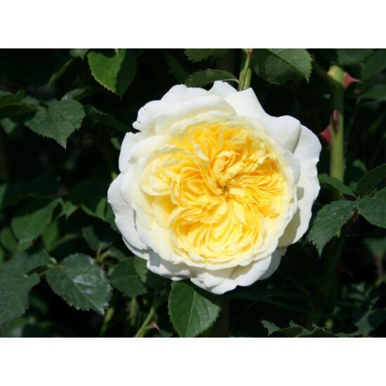 Rosa 'The Pilgrim' - Sárga-fehér romantikus angol rózsa