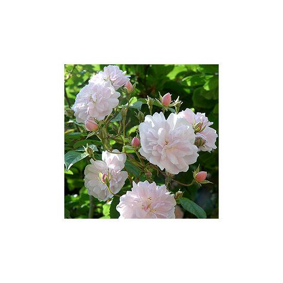 Rosa 'Paul's Himalayan Musk Rambler' - Rózsaszín-fehér virágú történelmi, futó- kúszó rózsa