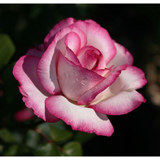Rosa 'Atlas' - Fehér teahibrid rózsa rózsaszín élekkel
