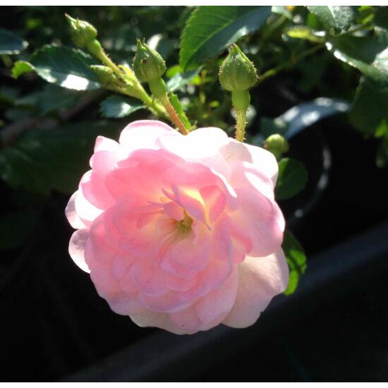 Rosa 'The Fairy' - Rózsaszín talajtakaró rózsa