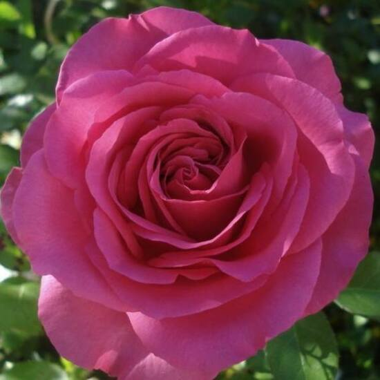 Rosa 'Lucia Nistler' - Sötét rózsaszín - teahibrid rózsa