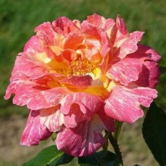 Rosa 'Mediterranea' - Lazac rózsaszín, sárga csíkokkal - teahibrid rózsa