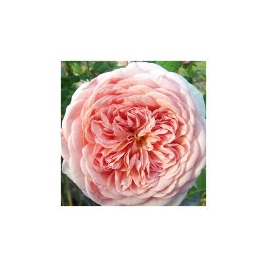 Rosa 'Candy Rain' - Rózsaszín - kajszi - őszibarack színű romantikus rózsa