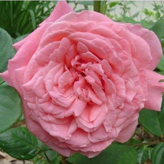 Rosa 'South Seas' – Lazac rózsaszín - teahibrid rózsa