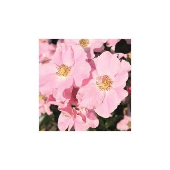 Rosa 'Satin Haze' - Világos rózsaszín talajtakaró rózsa