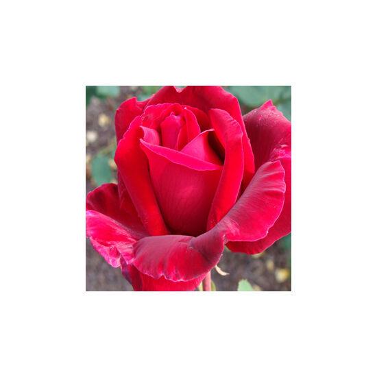 Rosa 'American Home' - Bársonyos kárminpiros teahibrid rózsa