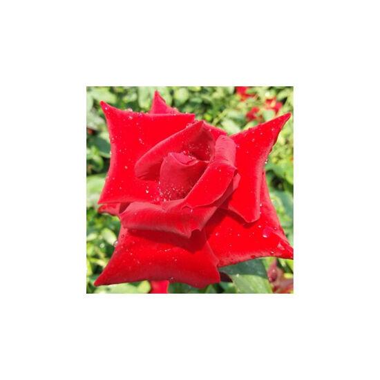 Rosa 'Fontaine' - Világospiros teahibrid rózsa