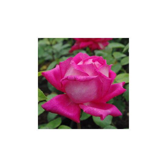 Rosa 'Isabel de Ortiz' - Rózsaszín-ezüstfehér teahibrid rózsa