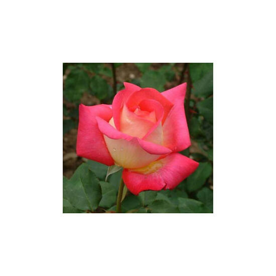 Rosa 'Rebecca® (Renica)' - Sárga, piros teahibrid rózsa