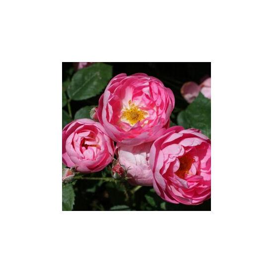 Rosa 'Macrantha Raubritter' - Világos rózsaszín parkrózsa