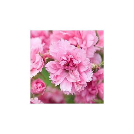 Rosa 'Pink Grootendorst' - Rózsaszín termetes parkrózsa
