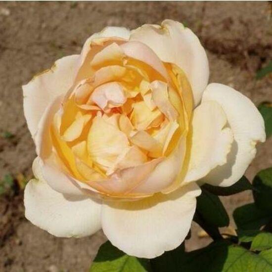 Rosa 'Topaze Orientale' - Sárga és rózsaszín - teahibrid rózsa