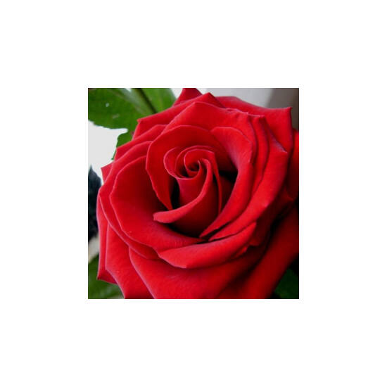 Rosa 'Festival' - Sötétpiros mini rózsa
