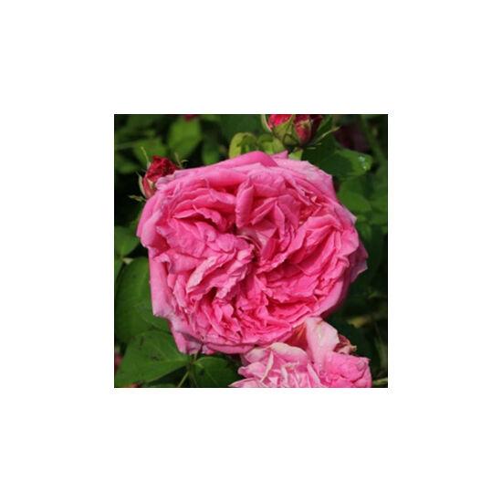 Rosa 'Aurelia Liffa' - Skarlátvörös régi kerti történelmi rózsa