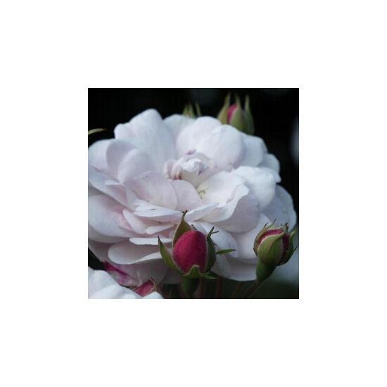 Rosa 'Blush Noisette' - Bimbósan bíbor színű, rózsaszín majd fehér virágzatú - noisette rózsa