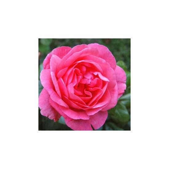 Rosa 'Frau Dr. Schricker' - Rózsaszín china történelmi rózsa