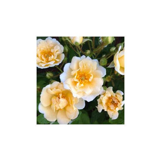 Rosa 'Goldfinch' - Krémfehér-sárga régi kerti történelmi rózsa