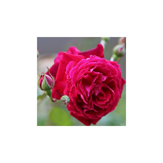Rosa 'Gruss an Teplitz' - Piros china történelmi rózsa