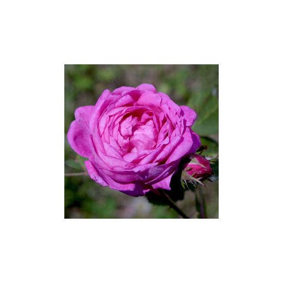 Rosa 'Himmelsauge' - Lila régi kerti történelmi rózsa