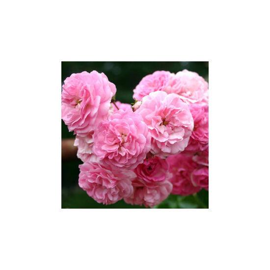 Rosa 'Minnehaha' - Rózsaszín rambler, történelmi futó- és kúszó rózsa