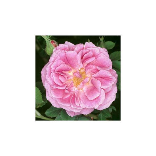 Rosa 'Queen of Bourbons' - Rózsaszín bourbon történelmi rózsa