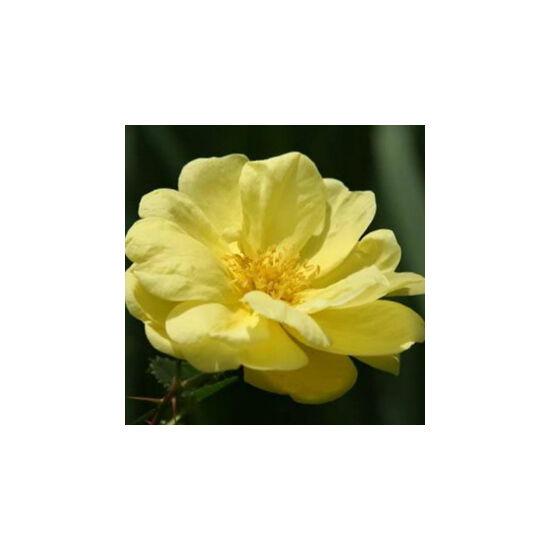 Rosa 'Rosa Harisonii' - Halványsárga régi kerti történelmi rózsa