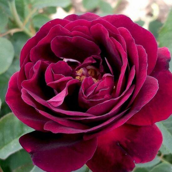 Rosa 'Souvenir du Docteur Jamain' - Lila perpetual történelmi rózsa