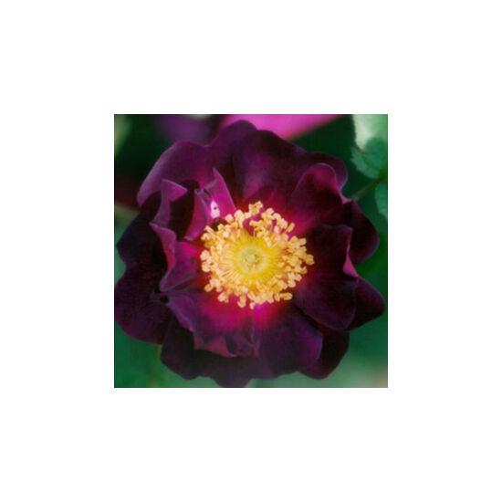 Rosa 'Tuscany Superb' - Lilásboró gallica történelmi rózsa