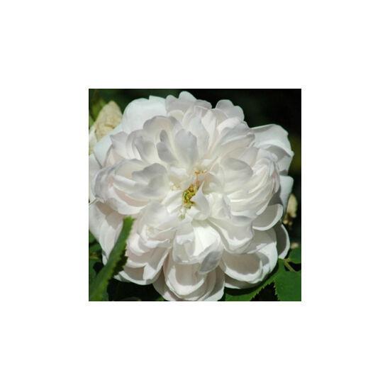 Rosa 'White Jacques Cartier' - Fehér perpetual történelmi rózsa