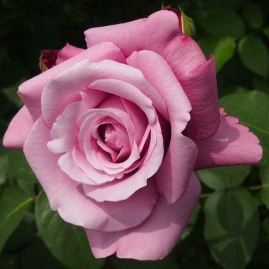 Rosa 'Blue (Violette) Parfum' - Mályva keverék - virágágyi floribunda rózsa