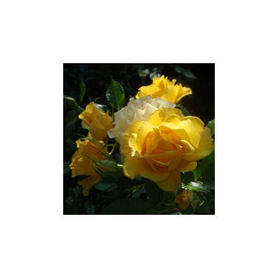 Rosa 'Adson von Melk' - Sötétsárga virágágyi ágyás rózsa