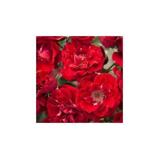 Rosa 'Fairy Dance' - Piros virágágyi ágyás rózsa
