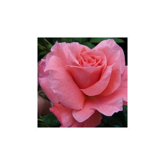 Rosa 'Favorite' - Rózsaszín ágyás rózsa